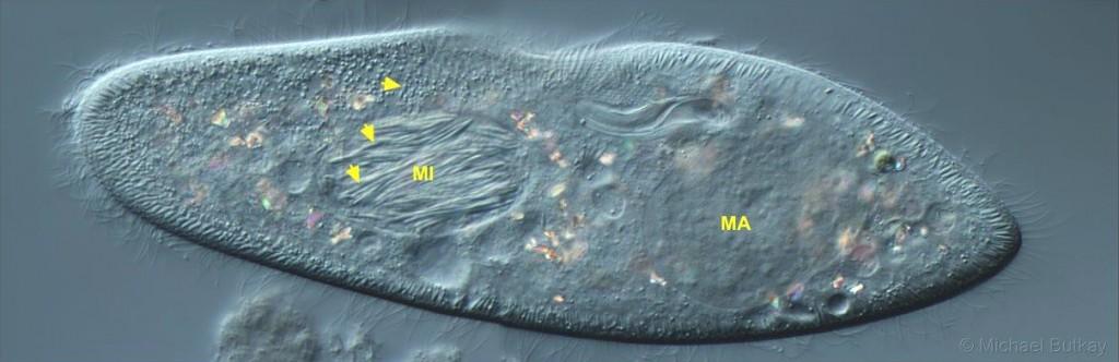 Paramecium_caudatum_Holospora
