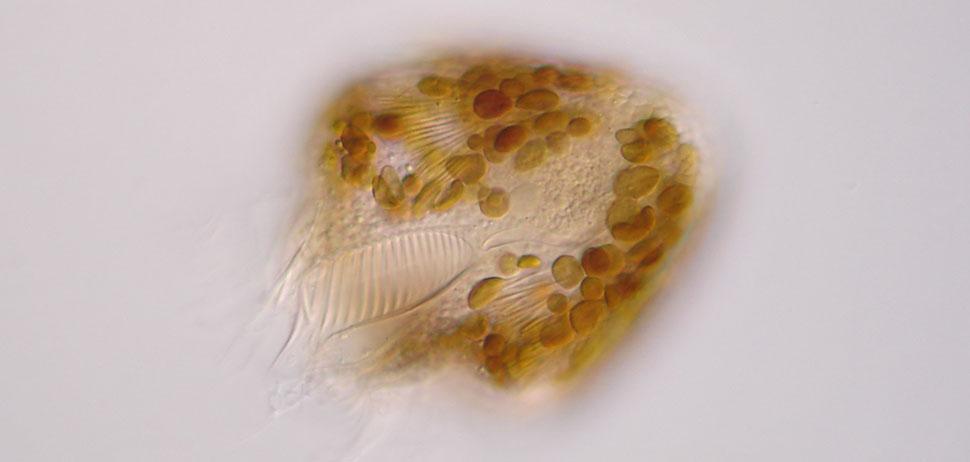 Pelagostrombidium fallax