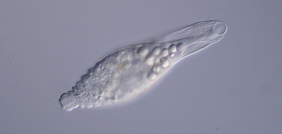 Lagynus elegans